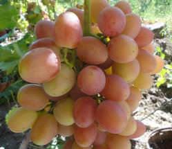 Виноград «София» относится к относительно новым гибридным формам